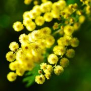 mimosa-274206_1920